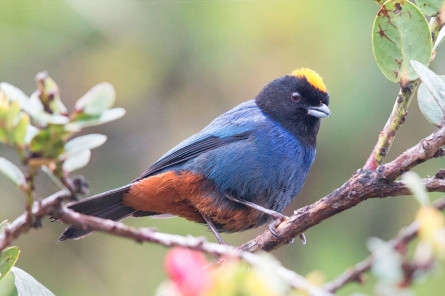golden-crowned-tanager176a7432